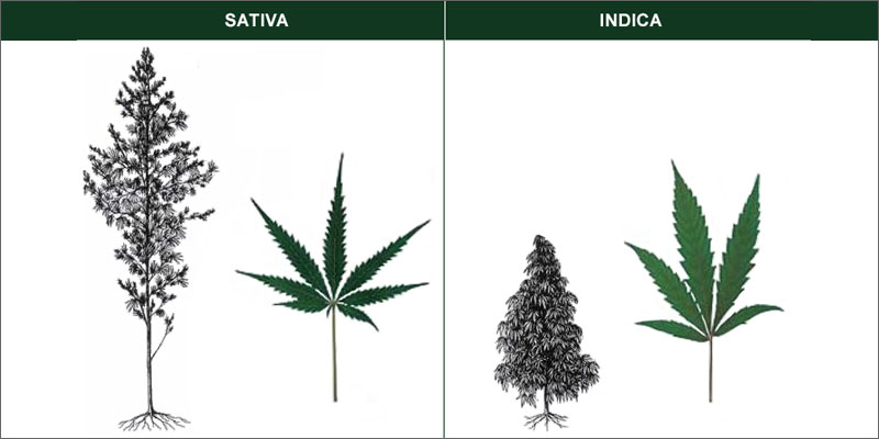 indica vs sativa leaf shape and difference