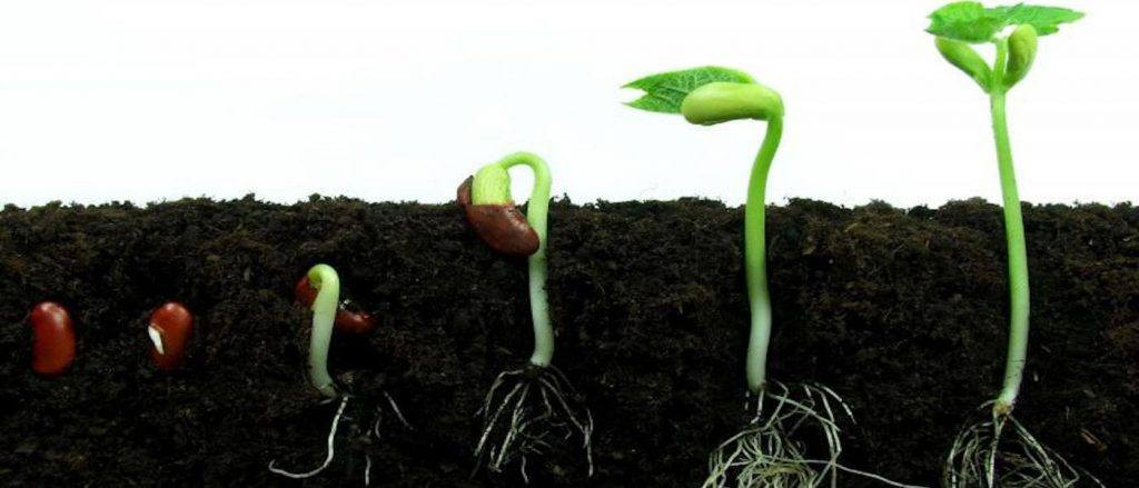 germinating-cannabis-seeds-hero