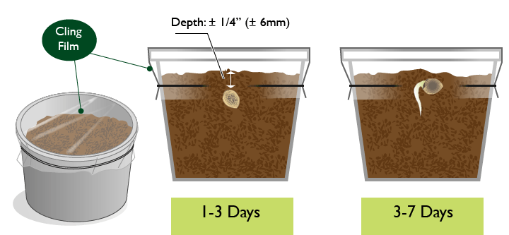 germinating-marijuana-seeds-method-1