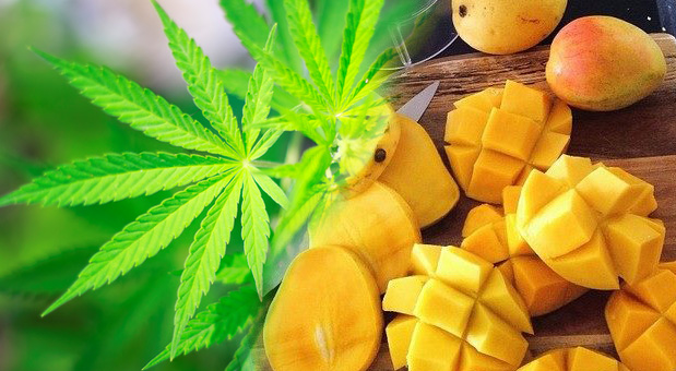 marijuana-smokers-are-running-to-the-produce-department-for-mangoes1